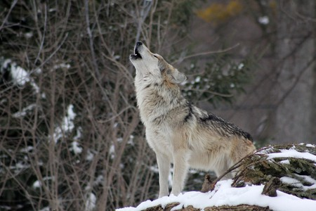 The iconic Finnish wolf / Public domain / Pixabay