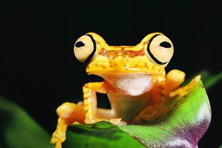 Imbabura Treefrog | © Santiago Ron/Flickr