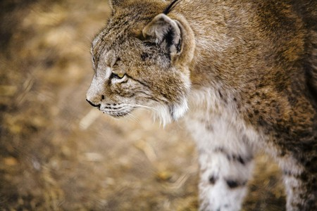 Iberian lynx    © jmucendo/Pixabay
