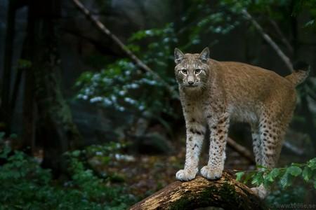 Lynx Lynx | © Tobias /Flickr