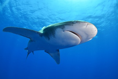 Oceanic white tip shark | © Discovery Channel