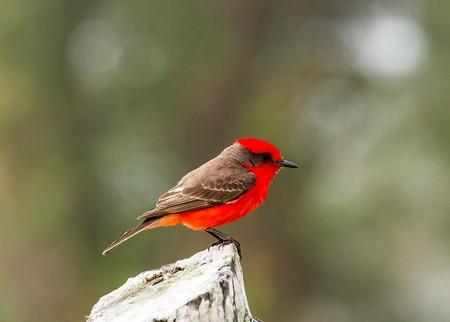 Vermilion Flycatcher | © James Diedrick / WikiCommons