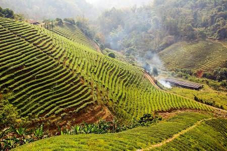 Tea plantation at Doi Mae Salong | © Atibordee Kongprepan / Flickr
