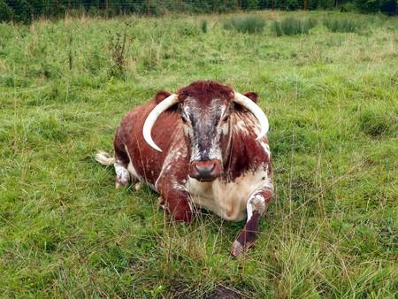 Longhorn cattle   ©Peter O'Connor / Flickr