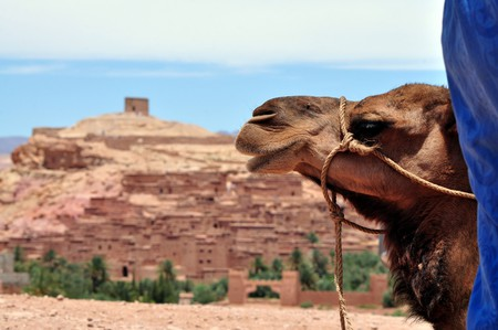 Camels at Ait Benhaddou, Ouarzazate