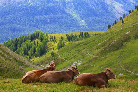 Cows, a mainstay of the Swiss Alps | © kahsky/ Pixabay