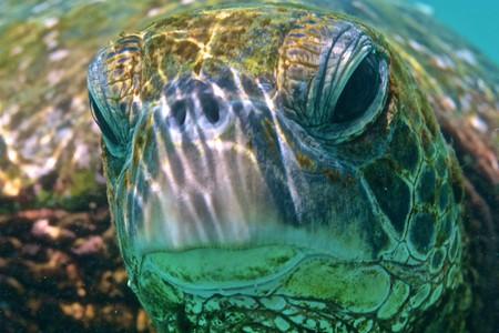 Green sea turtle | © GE Keoni