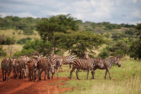 Zebra herd in Akagera National Park