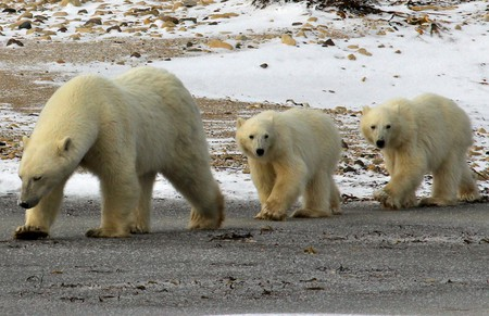 Polar bears | © Emma / Flickr