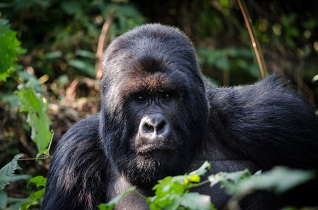 Mountain gorilla in Volcanoes National Park | © Henrik Palm / Flickr