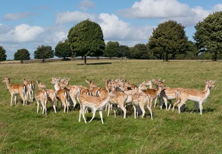 Fallow Deer at Dyrham Park