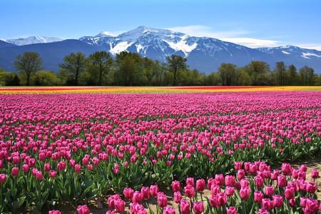 In bloom in British Columbia | © Hannamariah / Shutterstock
