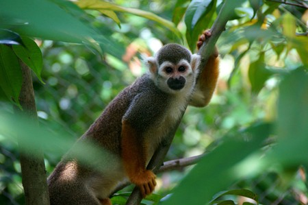 The rare squirrel monkey © Chi Hang Ong/Flickr