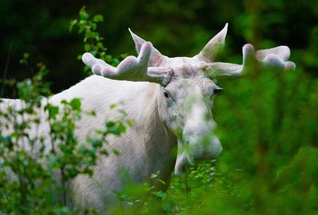 "<a href = ""https://commons.wikimedia.org/wiki/File:White_moose.jpeg""> Swedish White Elk"