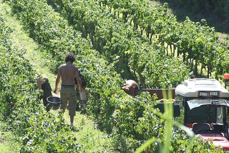 "<a href = ""https://commons.wikimedia.org/wiki/File%3AHand_harvesting_grapes_in_Provence.jpg""> Wine harvest in Provence │© Steven Verbruggen/Wikimedia Commons"