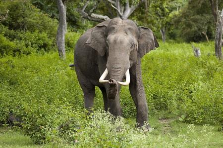 Indian elephant | Yathin S Krishnappa/WikiCommons