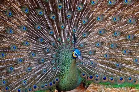 A peacock at Chiang Mai Zoo   © Dennis Jarvis/Flickr