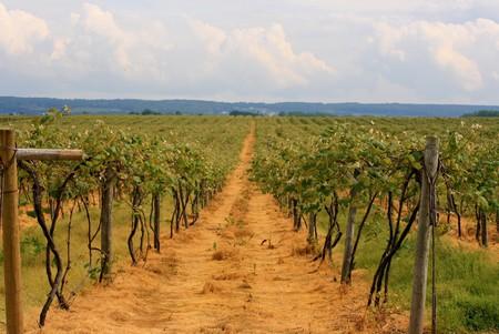 Vineyard | © MissMessie /Flickr