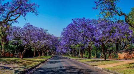 The Jacaranda City   © Paul Saad / Wikimedia Commons