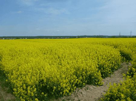 Yellow fields of charming Kokoszkowy | © Northern Irishman in Poland