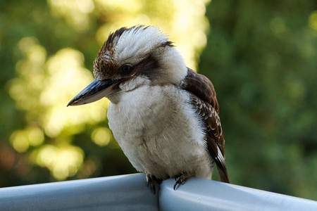 Kookaburra | © VirtualWolf/Flickr