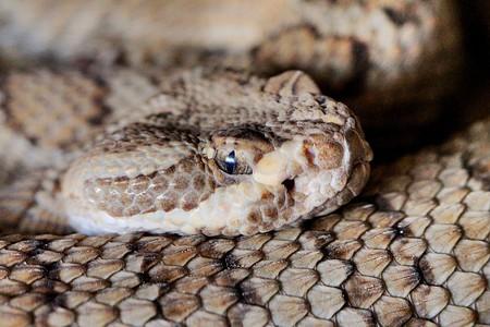 Rattlesnake | © Renee / Flickr
