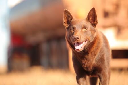 Red Dog   © Roadshow Film Distributors