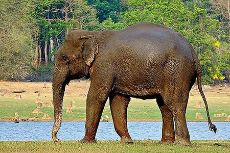 Asian or Indian Elephant   © Jayanand Govindaraj   Flickr