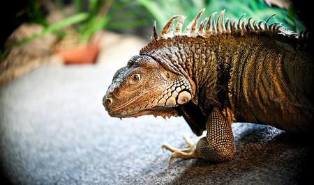 Green Iguana |© Leslie Science & Nature Center / Flickr