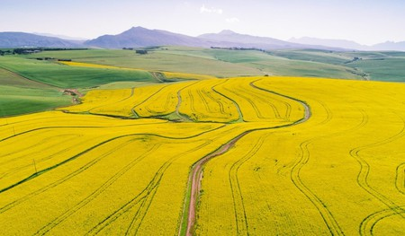 Canola Fields in the Cape Overberg | © Craig Howes