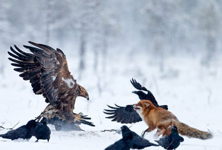 Golden eagle and red fox   Courtesy of Conny Lundström