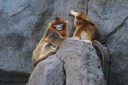 Snub-Nosed Monkeys   © Danielinblue/WikiCommons