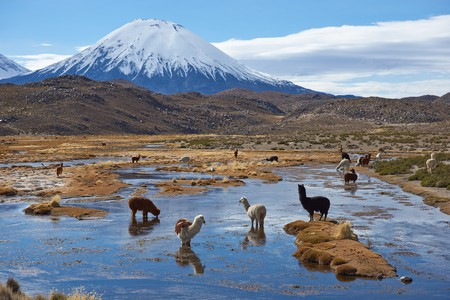 Alpaca grazing | © JeremyRichards / Shutterstock