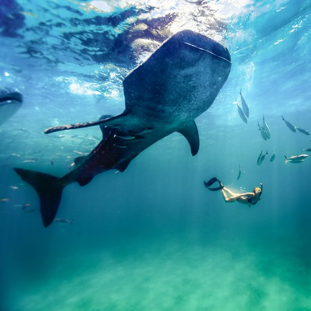 Whale shark in Oslob, Philippines