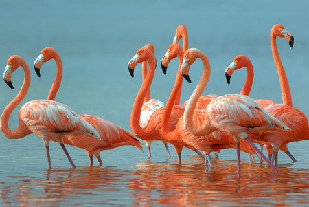 Mexico Greater Flamingoes | © zixian / Shutterstock