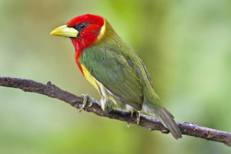 Red-headed barbet in Colombia   © Dave Wendelken / Flickr
