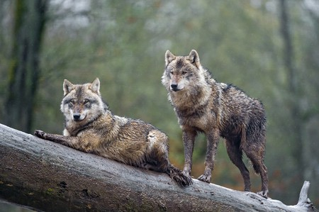 Wolves in France | © Tambako The Jaguar / Flickr