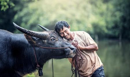 A Man and his Water Buffalo   © Sasint/Pixabay