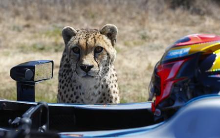 Formula E driver Jean-Éric Vergne prepares for his race against a cheetah | © Formula E