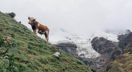 Cow   Mia Spingola / © Culture Trip