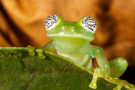 Pretty-eyed glass frog | © Santiago Run/Flickr