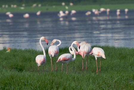 A group of greater flamingos at the Pallikaranai Marshlands