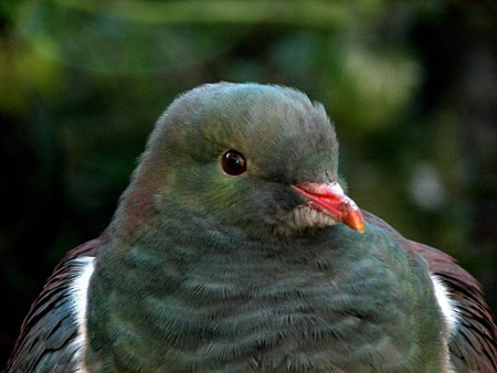 Kereru at the Nga Manu Nature Reserve on the Kapiti Coast | © digitaltrails/Flickr