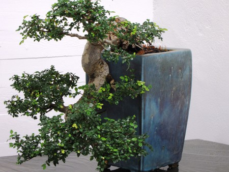 A miniature tree in Marbella's Museo del Bonsai; Annabel Kaye/flickr