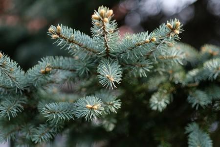 Christmas tree   © schnappi / Pixabay