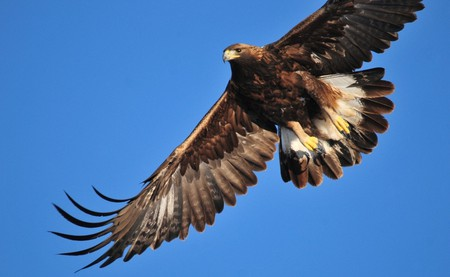 The golden eagle has made a comeback in Switzerland | © USFWS Mountain-Prairie / Flickr