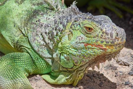 Green Iguana | © RoyBuri/pixabay