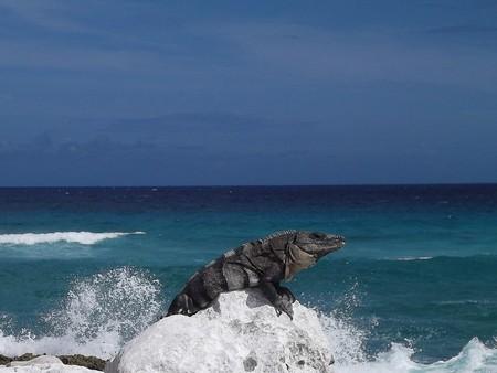 An iguana on the rocks of a beach in Cozumel   © henigede / Pixabay