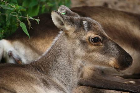 Reindeer calf   © 12019 / Pixabay