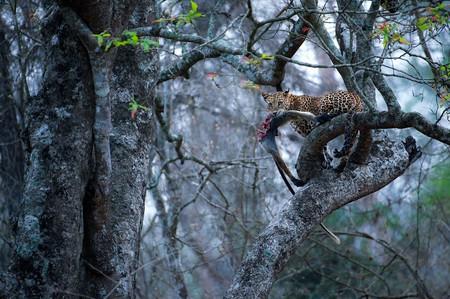 Leopard with monkey kill | ©Pranavsinghi1998 / WikiCommons